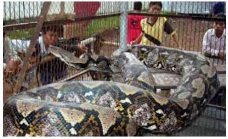 Visgarākā čūskakas jebkad... Autors: MilfHunter Ginesa Pasaules Rekordi 2