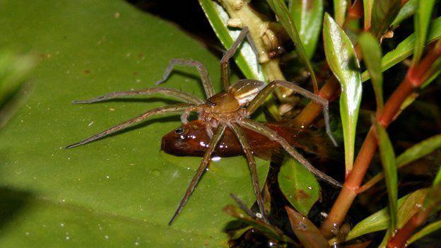 Dzīvnieku pasaulē vidējais... Autors: Zirnrēklis Zirnekļi, kas pārtiek no zivīm