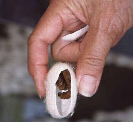 Картинки по запросу гусеница шелкопряд