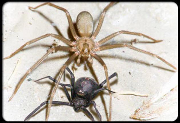 brown recluse spider bites - 493×335