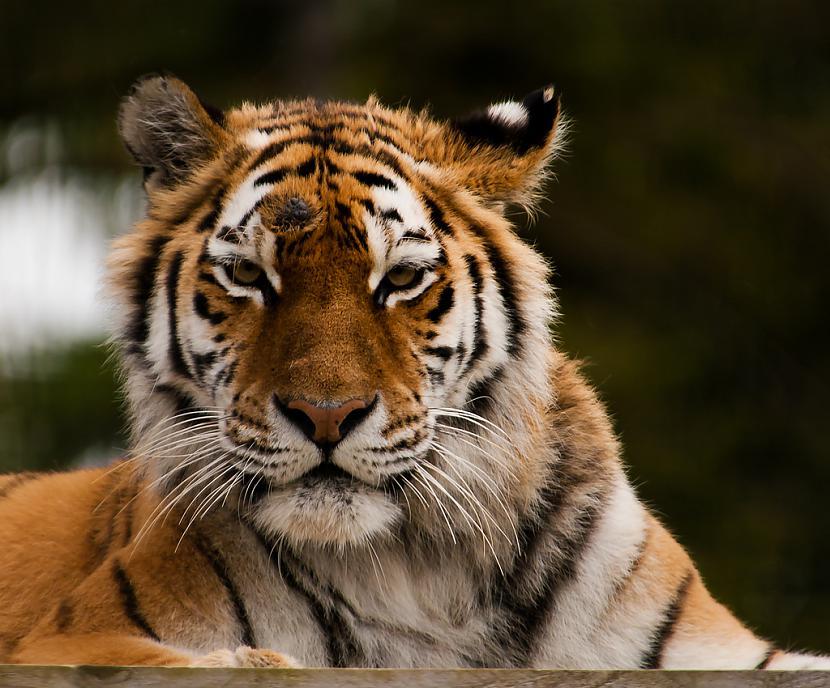 Tīģeru urīns ož stipri pēc... Autors: Zāģis Fakti par tīģeriem.
