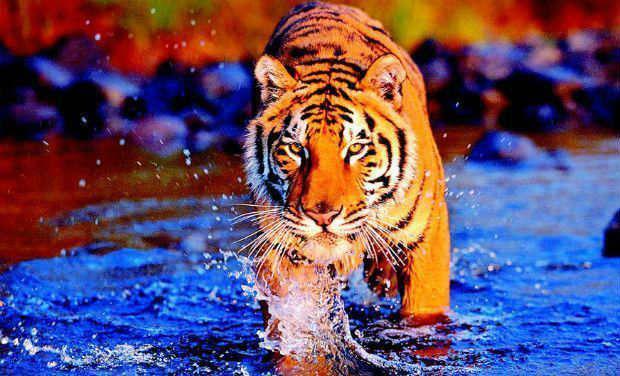 Ja tu skaties tīģerim... Autors: Zāģis Fakti par tīģeriem.
