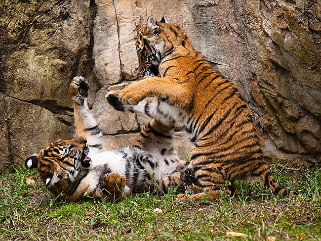 Tīģeru smadzenes sver vairāk... Autors: Zāģis Fakti par tīģeriem.